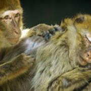 Macaques Jerez De La Frontera Spain Poster