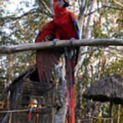 Macaw Guatemala Poster