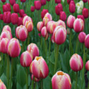 Mackinac Island Tulips 10681 Poster