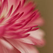 Macro - Pink Flower Poster
