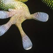 Madagascar Day Gecko Phelsuma Poster