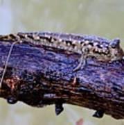 Madagascar Mudskipper Poster