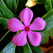 Madagascar Periwinkle Poster