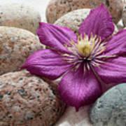 Clematis Flower On Meditation Stones Poster
