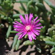 Magenta Purple Desert Moss Rose Poster