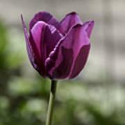 Magenta Tulip Squared Poster
