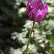 Magenta Tulip Poster