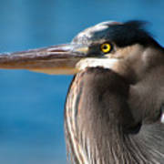 Magnificent Blue Heron Poster