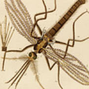 Magnified Mosquito Poster