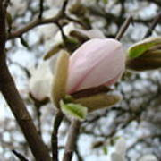 Magnolia Flower Pink White 19 Magnolia Tree Spring Art Poster