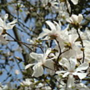 Magnolia Flowers White Magnolia Tree Flowers Art Prints Poster
