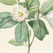 Magnolia Glauca Poster