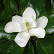 Magnolia Glorious Poster
