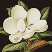 Magnolia Grandiflora Poster by Jenny Barron
