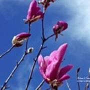 Magnolia Tulip Tree Poster