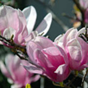 Magnolias Are Blooming Poster