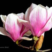 Magnolias In Spring Bloom Poster