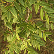 Mahogany Leaves On A Branch Poster