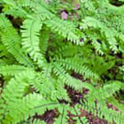 Maidenhair Ferns In Columbia River Gorge Closeup Poster