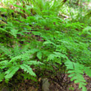 Maidenhair Ferns In Columbia River Gorge Poster