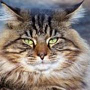 Maine Coon I Poster