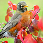 Maine Fall Robin Poster