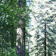 Majesic Redwoods Poster