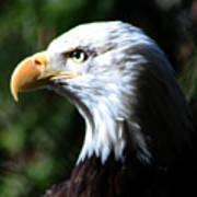 Majestic Bald Eagle Poster