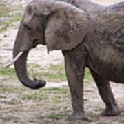 Majestic Elephant  Poster
