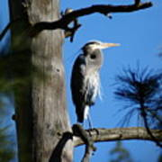 Majestic Great Blue Heron 2 Poster