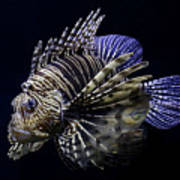 Majestic Lionfish Poster