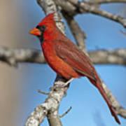 Majestic Mr. Redbird Poster