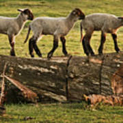 Makeway For Lambs Poster