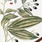 Malabar Cinnamon, 1735 Poster