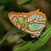 Malachite Butterfly Poster