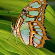 Malachite Butterfly (siproeta Stelenes) On Rhapis Palm Leaves (rhapis Excelsa) Poster