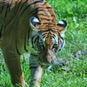 Malayan Tiger # 2 Poster