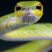 Malayan Vine Snake Poster