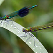 Male And Female Damsel Fly Poster