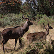 Male And Female Mountain Nyala Poster