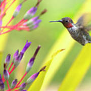 Male Anna's Hummingbird Poster by Mike Herdering