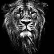 Male Asiatic Lion Poster