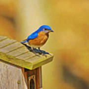 Male Blue Bird Guarding House Poster