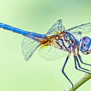 Male Blue Dasher Dragonfly Poster by Bonnie Barry