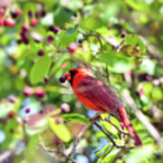 Male Cardinal And His Berry Poster by Kerri Farley