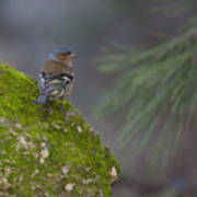 Male Common Chaffinch  Poster