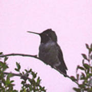 Male Costa's Hummingbird With Mauve Poster