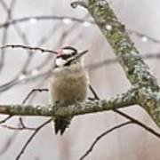 Male Downey Woodpecker Poster
