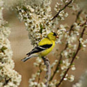 Male Finch In Blossoms Poster