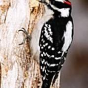 Male Hairy Woodpecker Poster